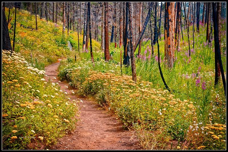 Wildflowers along Siyeh Trail.