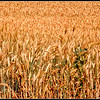 Wheat Field - Palouse