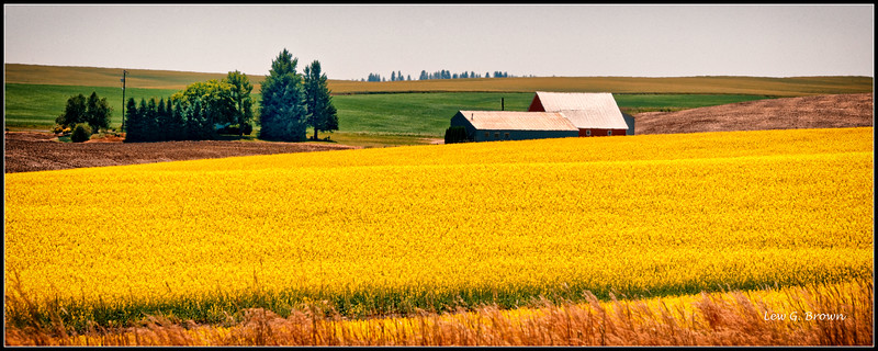 Canola field near Lewiston, Idaho