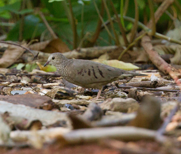 Common Ground Dove  Havanna Cuba 2018 01 10-2.CR2
