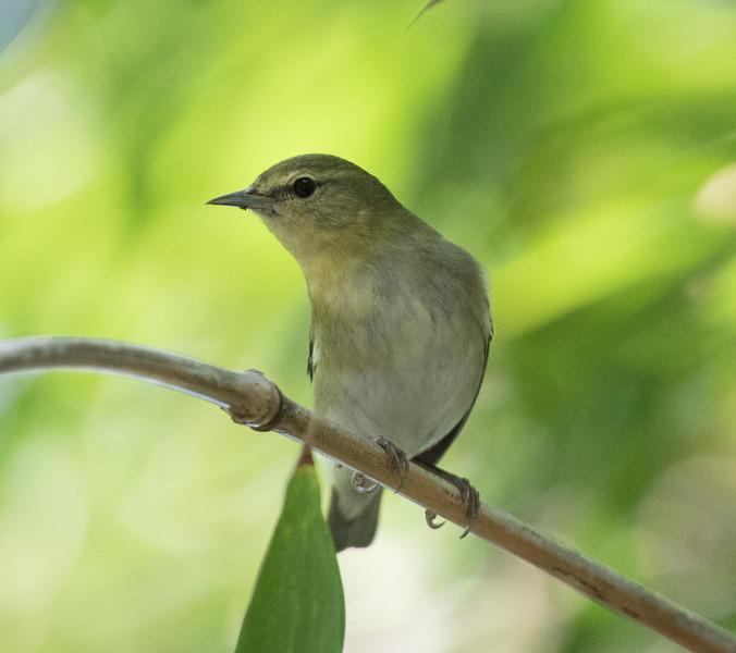 Tennessee Warbler Havana Cuba 2018 01 11-2.CR2-5.CR2