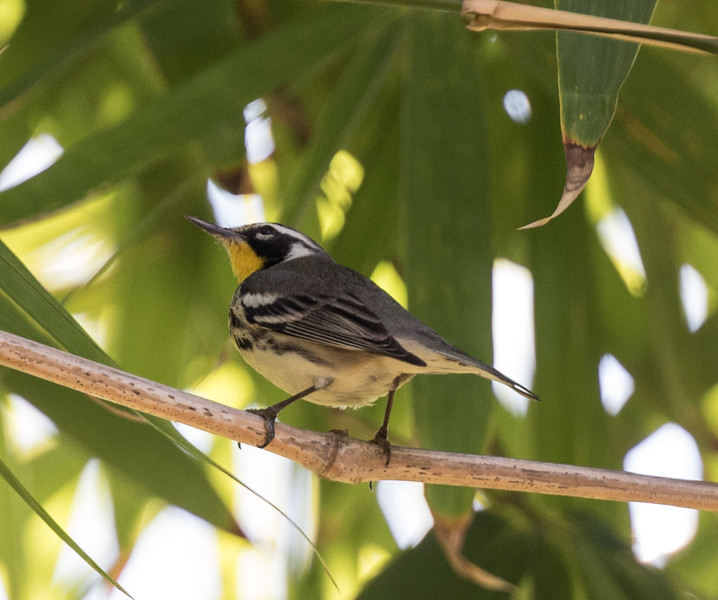 Yellow-throated Warbler Havana Cuba 2018 01 11-2.CR2-2.CR2
