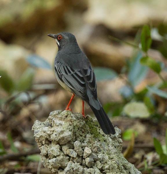 Red-legged Thrush Havana Cuba 2018 01 10-2-2.CR2-2.CR2