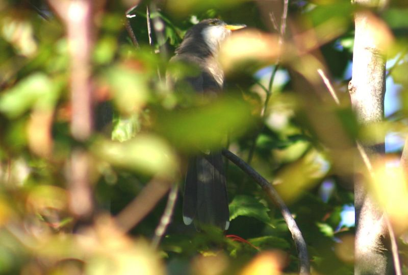 Yellow-billed Cuckoo - Hartlen Pt. 10/03/05