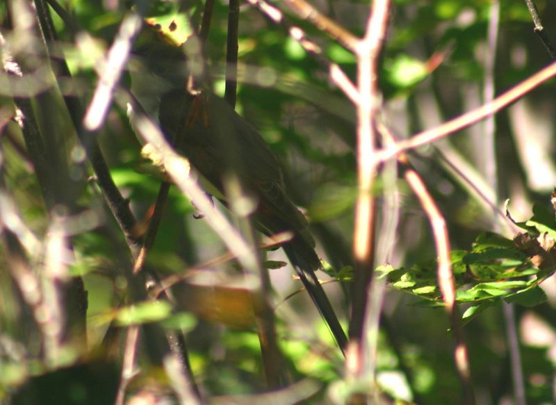 Yellow-billed Cuckoo - Hartlen Pt. 10/03/05