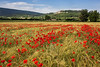 Lacoste and Poppies, Provence, France