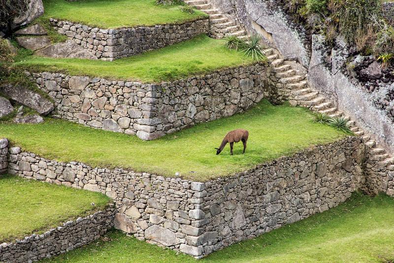 Llama Grazing in Machu Picchu, Peru
