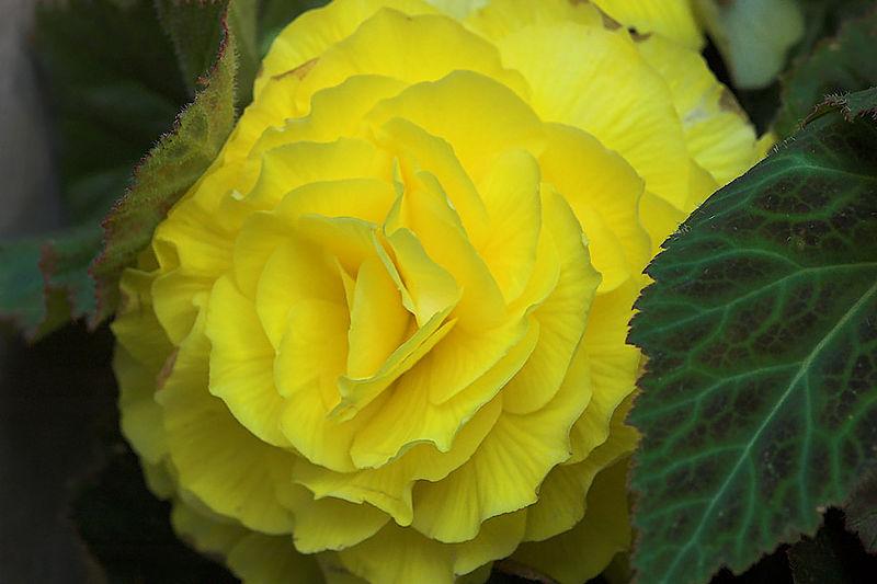 Bashful Blossom