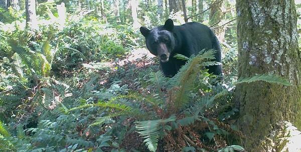 Cushman Hydro Project wildlife cameras