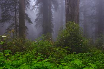 redwoods-flowers-txt