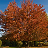 The Sunset Maple in our backyard is in  full color on October 31, 2007