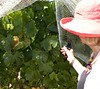 Judy showed us the larger, still green chardonnay grape clusters.