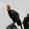 Ground hornbill (they are either endangered or threatened).