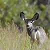 MULE DEER. GRAND TETON N.P., WYOMING