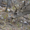MULE DEER, YELLOWSTONE N.P., WYOMING