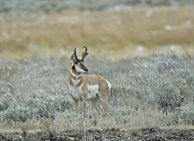 PRONGHORN ANTELOPE, LAMAR VALLEY, YELLOWSTONE N.P.