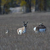 PRONGHORN ANTELOPE, GRAND TETON N.P., WYOMING
