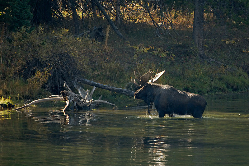 BULL MOOSE IN SNAKE RIVER, GRAND TETON N.P., WYOMING