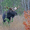 BULL MOOSE, ALPINE, WYOMING