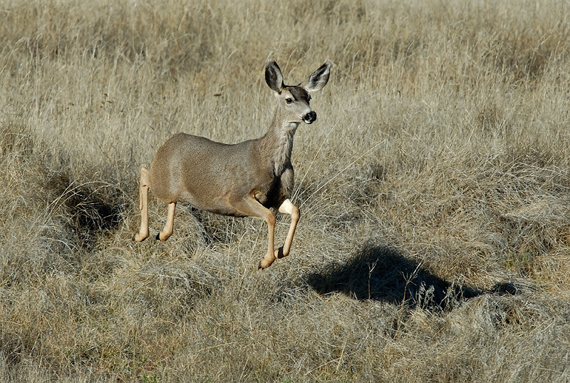 MULE DEER DOE, CUYAMACA S.P., CALIFORNIA