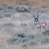 PRONG HORN ANTELOPE, GRAND TETON N.P. WYOMING