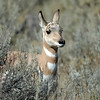 YOUNG PRONGHORN ANTELOPE, YELLOWSTONE N.P.