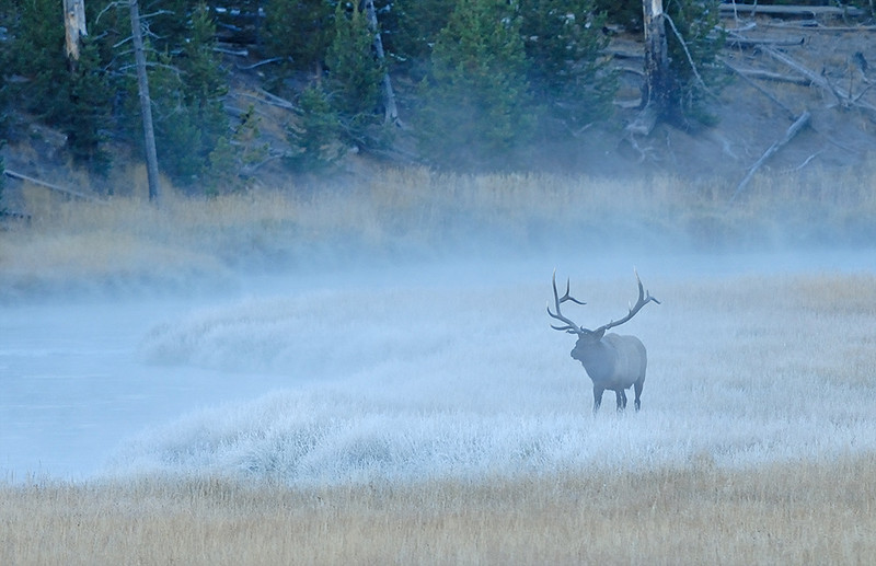 BULL ELK IN FOG ALONG MADISON RIVER, YELLOWSTONE NATIONAL PARK