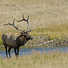 BULL ELK, YELLOWSTONE N.P.