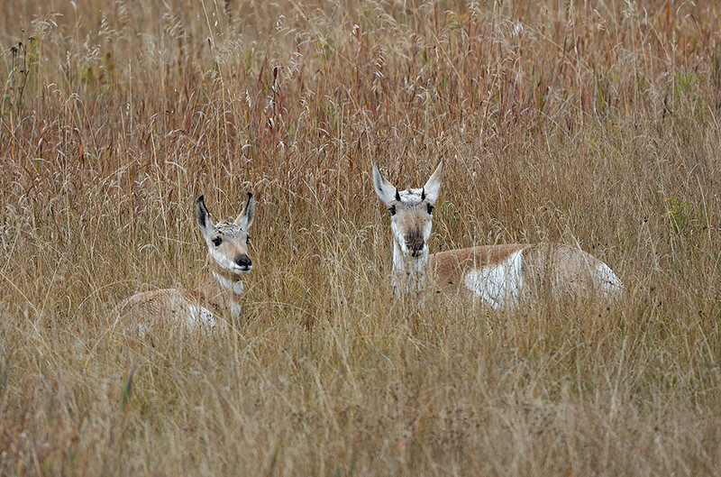 PRONG HORN ANTELOPE DOE AND YEARLING, GRAND TETON N.P. WYOMING