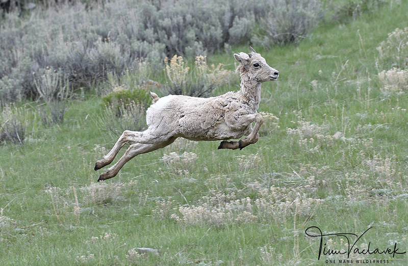 BIGHORN LAMB LETTING OFF STEAM, NATIONAL ELK REFUGE, JACKSON HOLE WYOMING