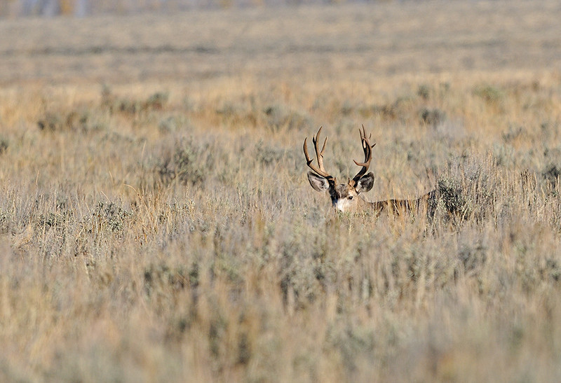 NON TYPICAL MULE DEER BUCK, GRAND TETON N.P. WYOMING