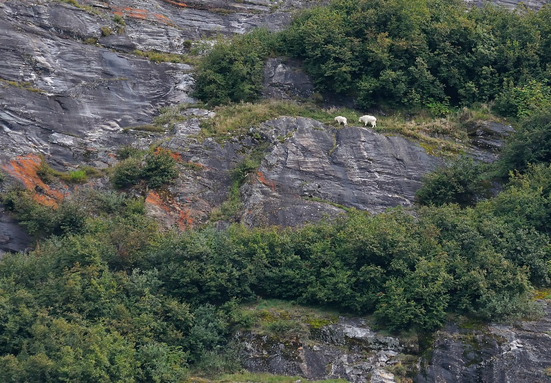 MOUNTAIN GOATS, TRACY ARM FJORD, ALASKA