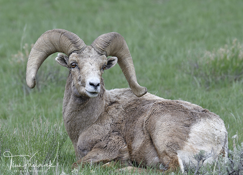 BIGHORN RAM RESTING, NATIONAL ELK REFUGE, JACKSON HOLE, WYOMING