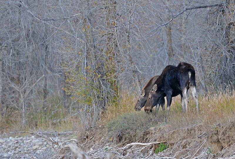 COW AND CALF MOOSE FEEDING ALONG GROS VENTRE RIVER, GRAND TETON N.P., WYOMING