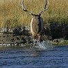 BULL ELK CROSSING MADISON RIVER, YELLOWSTONE N.P.