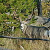 MULE DEER, YELLOWSTONE N.P.