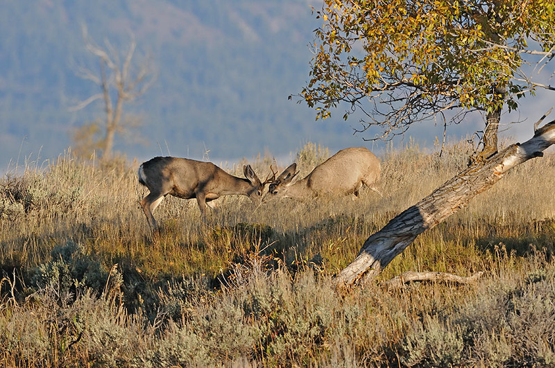 MULE DEER BUCKS FIGHTING, GRAND TETON N.P. WYOMING
