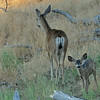 MULE DEER DOE AND FAWN, CUYAMACA STATE PARK, CALIFORNIA