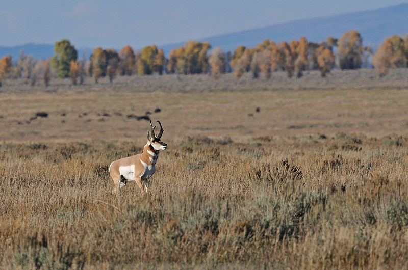 BUCK ANTELOPE ROUNDING UP STRAY DOE, THE DOES EARS CAN BE SEEN STICKING UP OUT OF THE SAGE BRUSH ABOUT A THIRD OF THE WAY UP ON THE RIGHT SIDE OF THE IMAGE,  GRAND TETON NATIONAL PARK, WYOMING  NOTE: THE DARK SPOTS IN THE BACKGROUND ARE BISON