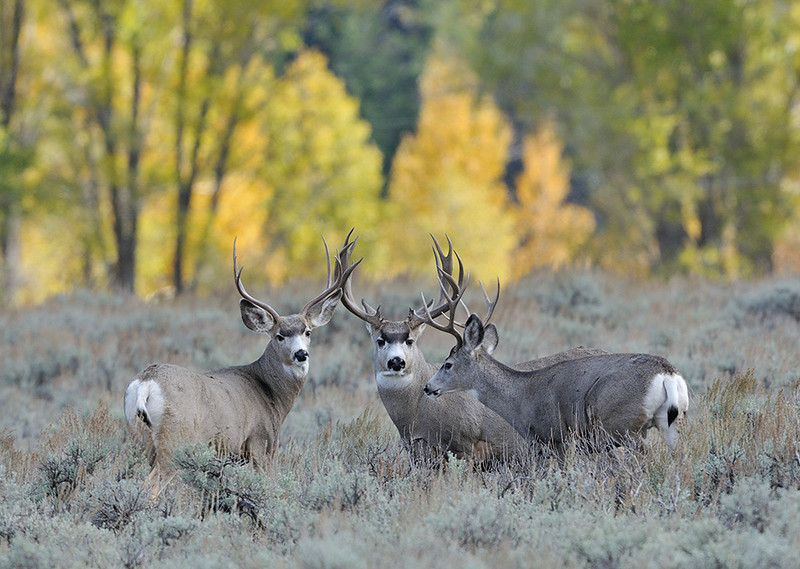 MULE DEER BUCKS, GRAND TETON N.P., WYOMING