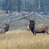 BULL ELK WITH COWS, YELLOWSTONE N.P., WYOMING
