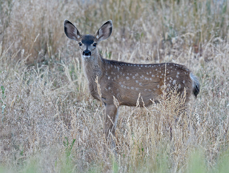 SPOTTED MULE DEER FAWN, CUYAMACA STATE PARK, CALIFORNIA