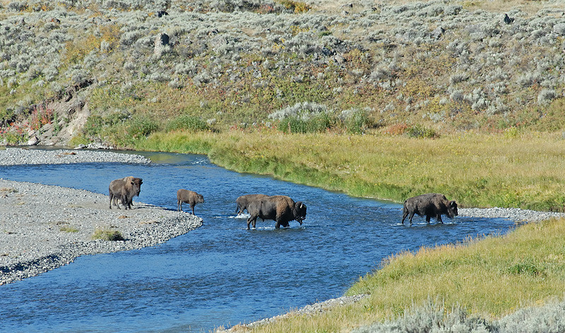 BISON CROSSING LAMAR RIVER, YELLOWSTONE N.P., WYOMING