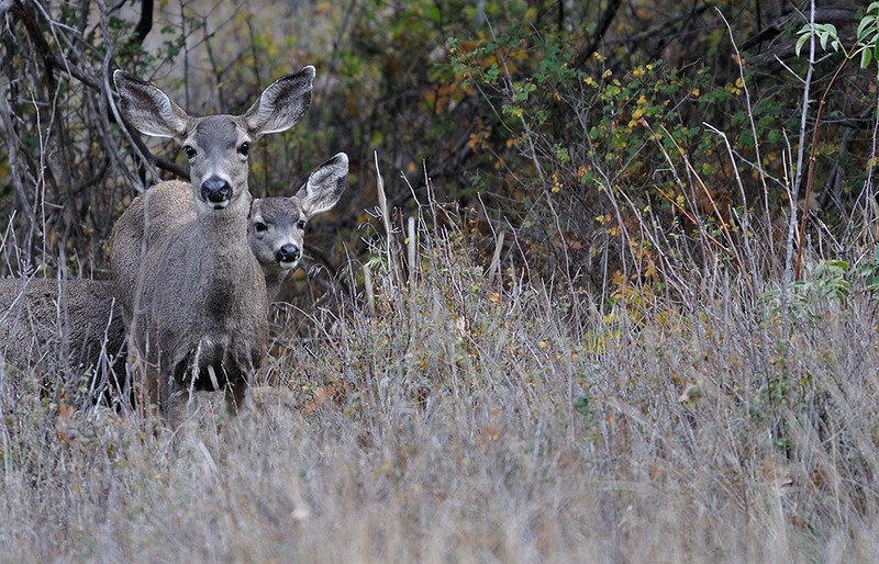 MULE DEER DOES, CUYAMACA STATE PARK, CALIFORNIA