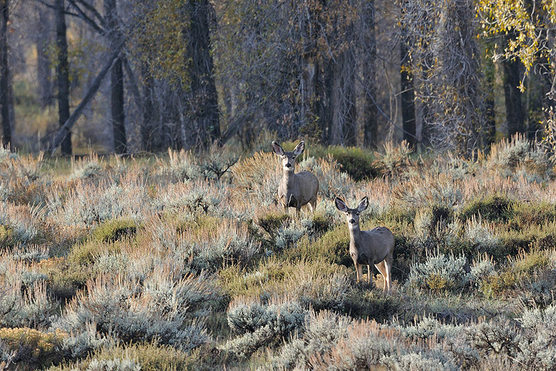 DOE MULE DEER, GRAND TETON NATIONAL PARK, WYOMING