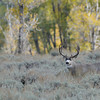 MULE DEER BUCK, GRAND TETON N.P., WYOMING