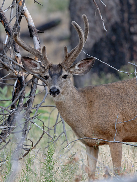 NON TYPICAL MULE DEER, CUYAMACA STATE PARK, CALIFORNIA