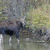 MOOSE CALF, GRAND TETON NATIONAL PARK, WYOMING