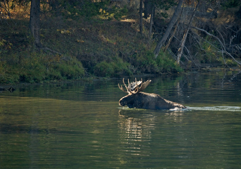 MOOSE SWIMING ACROSS SNAKE RIVER, GRAND TETON N.P., WYOMING