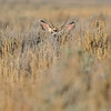 BEDDED MULE DEER BUCK WATCHING ME THROUGH SAGE BRUSH, GRAND TETON N.P. WYOMING